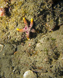 Starfish / Seastar. A red and yellow Starfish / Seastar perched against a coral reef Royalty Free Stock Photo