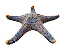 Starfish / Seastar isolated on white background. Stock Image