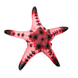 Starfish / Seastar isolated on white background. Stock Photography