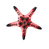 Starfish / Seastar isolated on white background. Royalty Free Stock Image