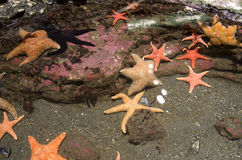 Starfish in Seattle Aquarium. You can touch the starfish in Seattle Aquarium Royalty Free Stock Image