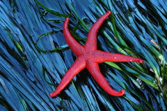 Starfish on seaweed royalty free stock photography