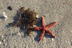 Starfish and seaweed on the sand Royalty Free Stock Photos
