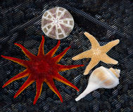 Starfish and Shell. Royalty Free Stock Images