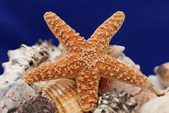 Starfish and shells. On blue back Royalty Free Stock Image