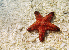 Starfish on shore Royalty Free Stock Photo