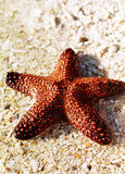 Starfish on shore. A closer look of a red starfish Stock Image