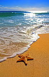 Starfish at shore line. A starfish on the shoreline on a sunny gold sand beach Stock Photography