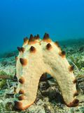 Starfish spawning Stock Photography