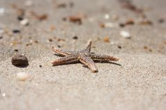 Starfish species Asterias rubens with shingle, view close-up on a coastal sea sand after the tide. The Bay of Biscay. Atlantic coast of France Royalty Free Stock Image