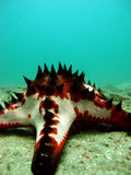 Starfish with spikes. Starfish with black spikes close to the shore Stock Images
