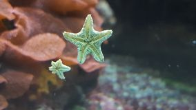 Starfish. In fishtank with little baby stock images