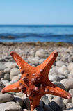 Starfish on a stone beach Stock Image