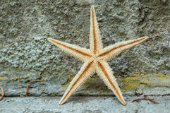 Starfish on stoned wall background. Closeup of starfish on stoned wall background Royalty Free Stock Images