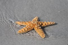 Starfish in the Surf. Starfish from the ocean on the beach royalty free stock images