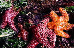 Starfish in tide pool Royalty Free Stock Photography