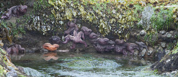 Starfish in Tidepool - Oregon coast Stock Photos