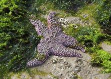 Starfish in Tidepool - Oregon coast. Single purple starfish in tide pool along Oregon coast Royalty Free Stock Images