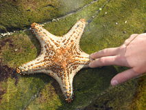 Sea star in touch pool Stock Photography