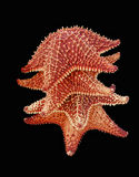 Starfish tropicais Imagens de Stock