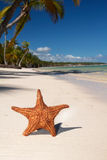 Starfish on tropical beach with palms Royalty Free Stock Photos