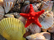 Starfish und Seashells Stockbild