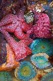 Starfish und Seeanemonen Lizenzfreies Stockfoto