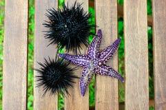 Starfish und Seeigel, Echinus Lizenzfreie Stockbilder