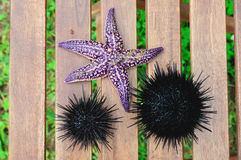 Starfish und Seeigel, Echinus stockfoto