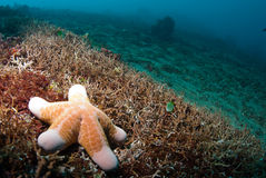 Starfish underwater Stock Images
