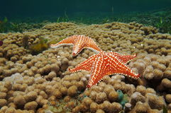 Starfish underwater on coral reef Caribbean sea Stock Photos