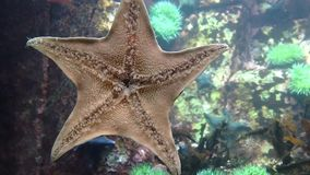 Starfish underwater stock footage