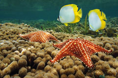 Starfish underwater over coral with butterflyfish Royalty Free Stock Photos
