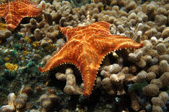 Starfish underwater over coral seabed. Starfish underwater, Oreaster reticulatus, over coral seabed Royalty Free Stock Image