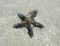 Starfish underwater. Tanzania. Zanzibar island Royalty Free Stock Photo