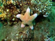Starfish, Vietnam Stock Image