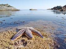 Starfish at a water edge Royalty Free Stock Image