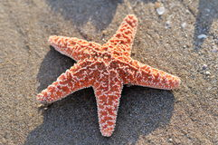Starfish on wet sand Royalty Free Stock Photos