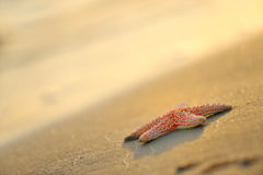 Starfish on wet sand at sunrise/sunset Royalty Free Stock Image