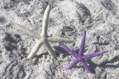 Starfish White and Purple. From the ocean on sandy beach stock images