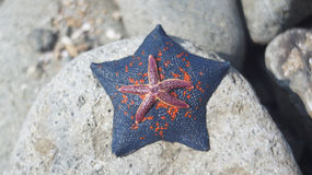 starfishes Fotografia Stock