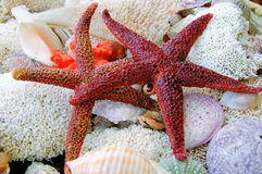Starfishes .. Starfishes, corals and seashells in a marine composition Stock Photography