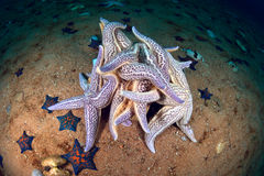 Starfishes que spawning Fotografia de Stock Royalty Free