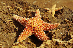 Starfishes on a rock. Some starfishes on a rock on the beach Royalty Free Stock Image