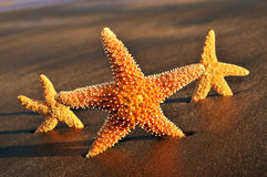 Starfishes on the sand of a beach. Closeup of some starfishes on the sand of a beach Stock Images