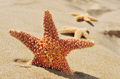 Starfishes on the sand of a beach. Closeup of some starfishes on the sand of a beach Royalty Free Stock Photography
