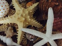 Starfishes. Some various starfishes Royalty Free Stock Image
