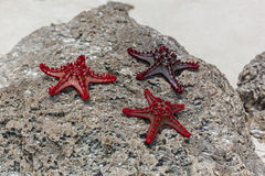 Starfishes. royalty free stock images