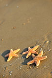 Starfishes on wet sand Stock Image