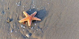 Starfishes on wet sand Royalty Free Stock Photography